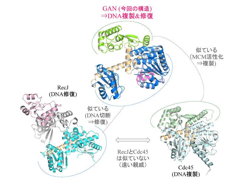 古細菌由来GANタンパク質の立体構造(中央)と関連タンパク質RecJ(左)およびCdc45(右)との構造比較。GANはRecJとCdc45の両方に似た領域を併せ持ち、DNA修復と複製の両方の場面で機能すると考えられる。